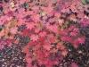 くじゅう黒岳山麓の紅葉