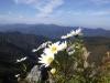 白岩山のイワギク