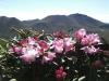 三俣山のシャクナゲ