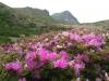 星生山のミヤマキリシマ